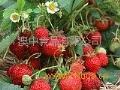蓝旗草莓蓝旗甜瓜水果招商加盟