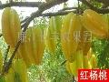 廉江红橙招商加盟