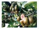 中兴猕猴桃水果招商加盟