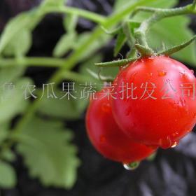 鲁农瓜果蔬菜招商加盟