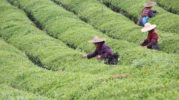 正品茶叶加盟